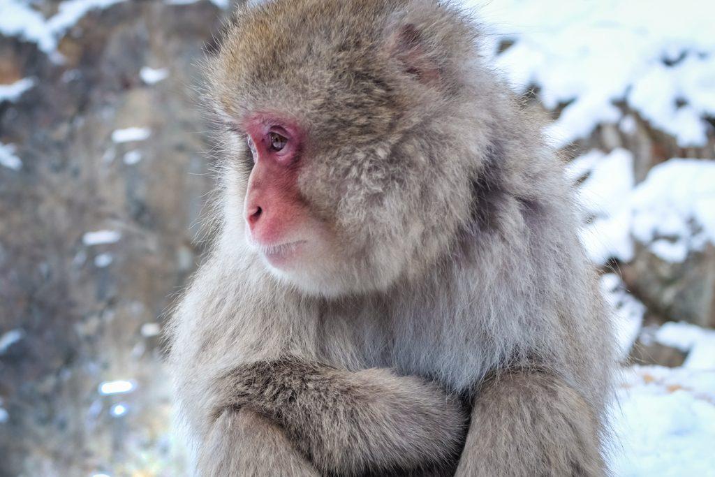 nagano snow monkey japan ajourneylife