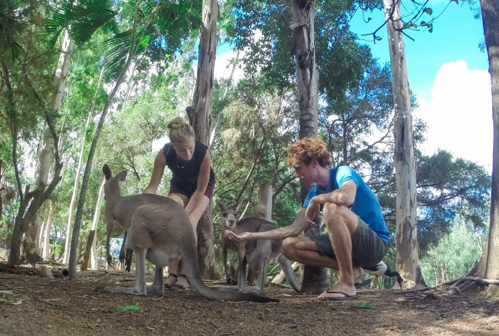 kangaroo australia ajourneylife