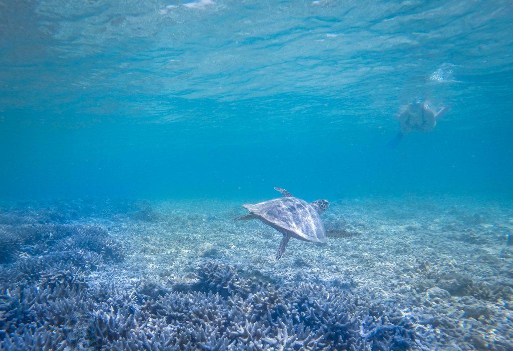 turtle great barrier reef ajourneylife