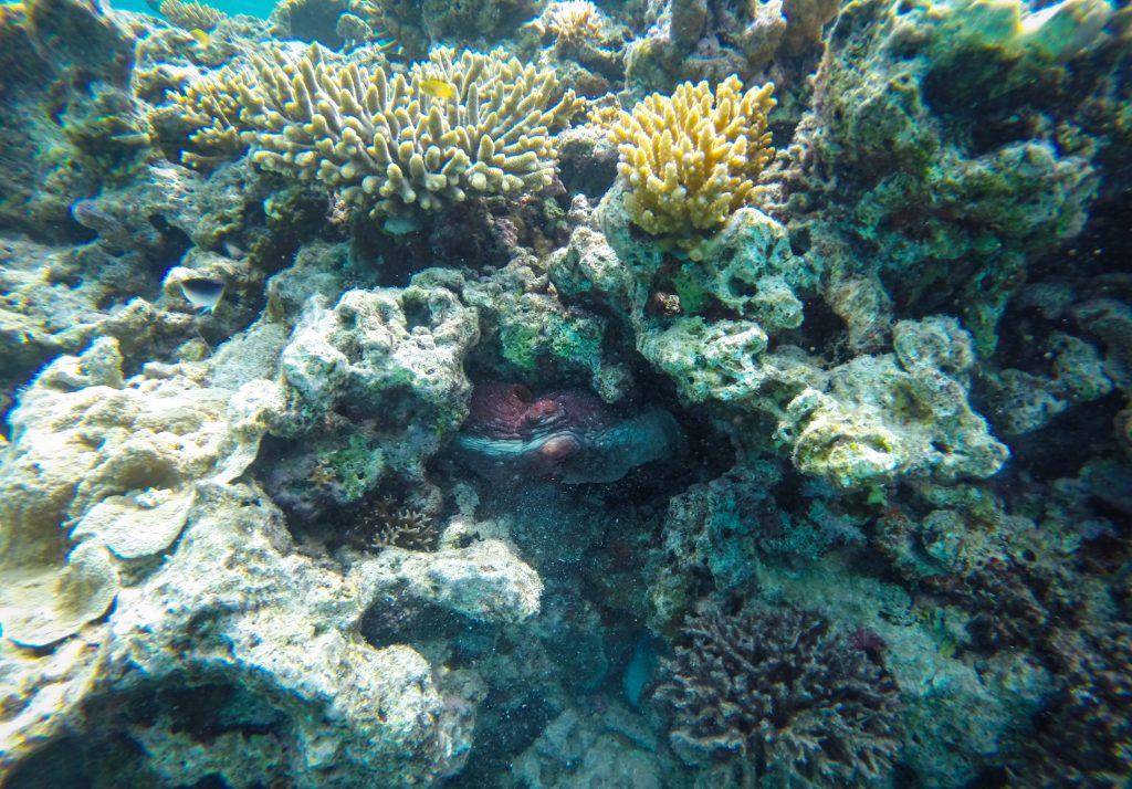 octopus great barrier reef ajourneylife